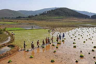 Women planting rice in the paddy in the undulating rural countryside near Desia Koraput, Odisha, India, Asia