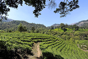Tea estate in the undulating hills in Munnar, Kerala, India, Asia