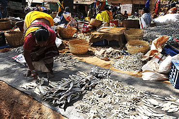 Mali tribeswoman arranging dried river fish in pre-weighed piles for sale in the weekly Mali tribal market, Koraput, Odisha, India, Asia
