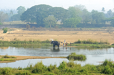 Temple elephant being washed by mahout in the early morning in the Bharathapuzzha River, Cheruthuruthy, Kerala, India, Asia