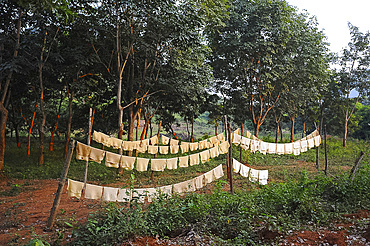 Sheets of freshly made rubber hanging out to dry on the rubber plantation, Dhenkanal district, Odisha, India, Asia