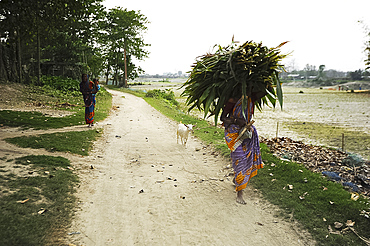 Barefoot village woman leading goat and carrying huge pile of reeds back home in Brahmaputra river village, Assam, India, Asia