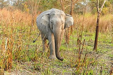 Young wild elephant emerging from grassland in Kaziranga National Park, Assam, India, Asia
