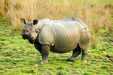 Greater one-horned Rhino, one of 2400 in the Kaziranga National Park, Assam, India, Asia