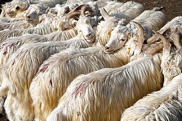 Angora goats at Sunday market at Kashgar, the main Silk Road trading centre, Kashgar, Xinjiang, China, Asia
