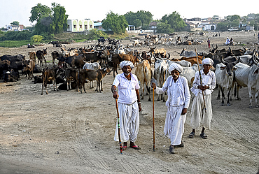 Three village cowherders with their herd of cattle in the desert village of Dasada, Gujarat, India, Asia