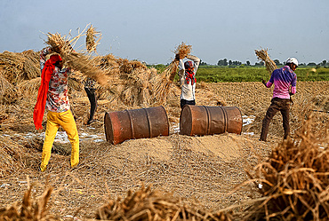 Young men, itinerant workers, threshing rice sheaves against tin drums to release the rice, Gujarat, India, Asia