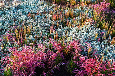Sea Lavender and various beautiful coloured heathers growing wild in the sand dunes behind the beach at Walberswick, Suffolk, England, United Kingdom, Europe