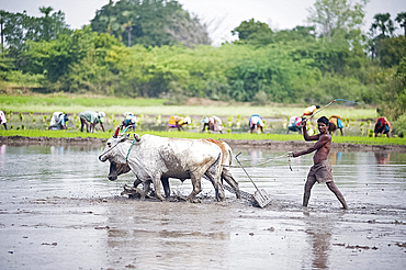 Farmer using cattle to plough rice paddy, rice planters in background, Tiruvannamalai district, Tamil Nadu, India, Asia
