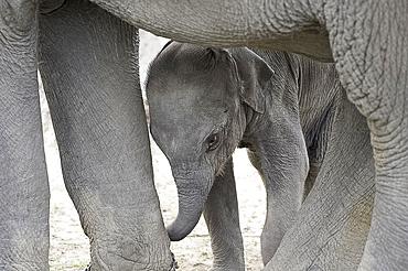 Two month old baby elephant calf with mother elephant, Kaziranga National Park, Assam, India, Asia