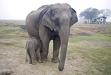 Two month old baby calf nuzzling mother elephant to suckle, Kaziranga National Park, Assam, India, Asia