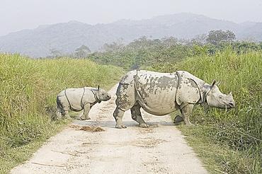 Indian white rhinoceros and calf emerging from elephant grass in Kaziranga National Park, Assam, India, Asia