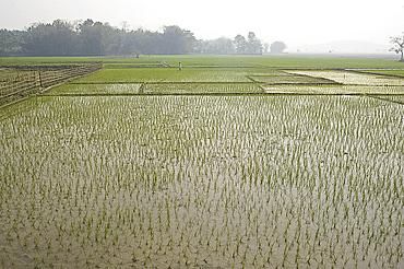Rice paddy fields, Kaziranga district, Assam, India, Asia