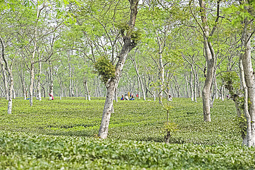 Women working in Assam tea garden, Jorhat, Assam, India, Asia
