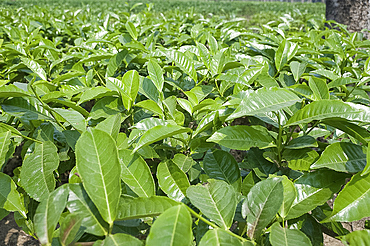 Assam tea leaves growing, Jorhat, Assam, India, Asia
