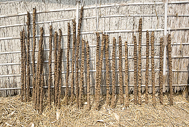 Cattle dung pressed onto sticks to be sun dried and used as cooking fuel, Nalvara village, Assam, India, Asia