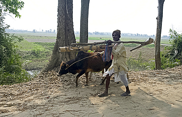 Old farmer walking with cow, carrying hand carved wooden plough on his shoulder, Majuli Island, largest riverine island in the world, in the Brahmaputra River, Assam, India, Asia