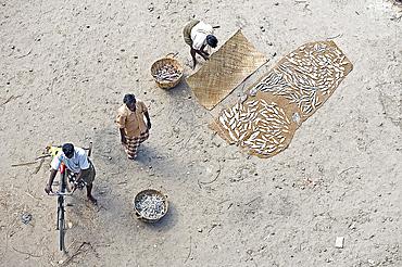 Sorting and drying the morning's catch of fish, Dhanushkodi, Tamil Nadu, India, Asia