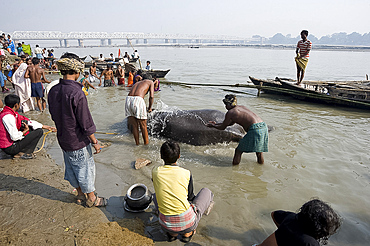 Elephant being washed by mahout in the waters of the holy River Ganges, Patna, Bihar, India, Asia