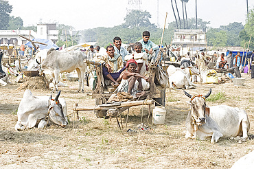 Bihari farmers and cattle owners resting on wooden cart, with their white cows decorated for sale at the annual Sonepur Cattle fair, near Patna, Bihar, India, Asia