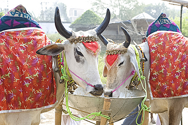 Two white cows, decorated with cloth and bells, for sale at the annual Sonepur Cattle Fair near Patna, Bihar, India, Asia
