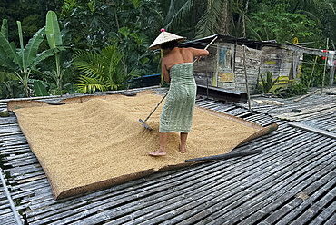 Iban tribeswoman raking through drying rice crop on sacking laid on bamboo longhouse verandah, Lemanak River, Sarawak, Malaysian Borneo, Malaysia, Southeast Asia, Asia