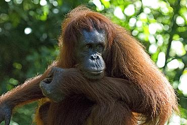 Semi-wild Orang Utan (Pongo pygmaeus) at Semengok Orangutan Sanctuary and Rehabilitation Centre, Kuching, Malaysian Borneo, Malaysia, Southeast Asia, Asia