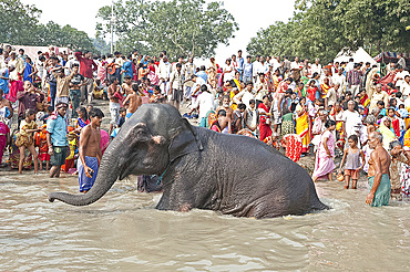 Elephant being washed by mahout near the banks of the River Ganges crowded with visitors to the Sonepur Cattle Fair, Bihar, India, Asia