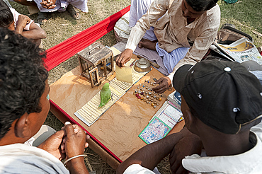 Fortune telling green parakeet being used to pick tarot cards at Sonepur Cattle Fair, Bihar, India, Asia