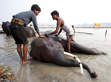 Young men, mahouts, washing tusked elephants in the holy River Ganges in preparation for Sonepur Cattle Fair, Bihar, India, Asia