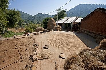 Saura tribal village in rural Orissa, hand winnowed rice drying in the central area, Orissan style haystacks behind, Orissa, India, Asia