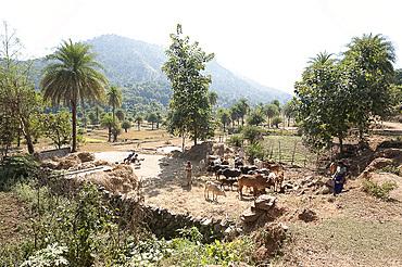 Communal village cattle threshing rice by walking on it in Saura tribal village, rural Orissa, India, Asia