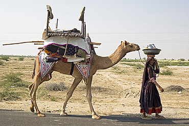 Nomadic Rabhari tribeswoman walking in the Kachchh desert with camel carrying her possessions, Lakhdar district, Gujarat, India, Asia