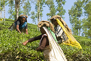 Women picking tea, Vythiri, Wayanard district, Kerala, India, Asia