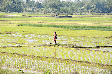 Rice farmer performing early morning puja in his ricefield, rural West Bengal, India, Asia