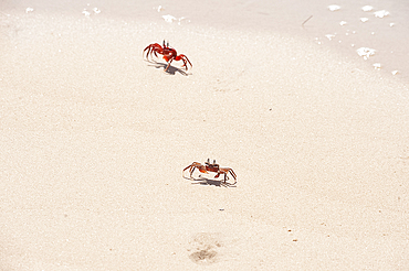 Red crabs, unique to Odisha, running on sandy beach, Astiranga, Odisha, Orissa, India, Asia