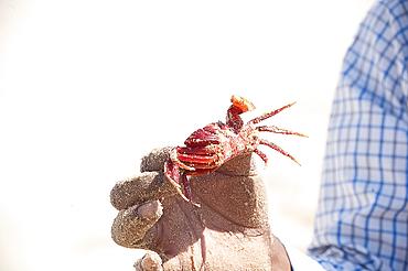 Man holding red crab, unique to Odisha, Astiranga, Odisha, Orissa, India, Asia