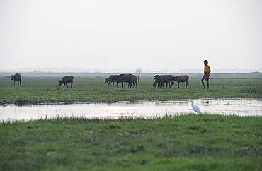 Cowherd bringing cattle in at dusk, white ibis in the foreground, wetlands around Chilika Lake, Orissa, India, Asia