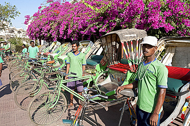 Green riders, cycle rickshaw wallahs encouraging environmentally friendly travel around Puri, near pink bougainvillea, Orissa, India, Asia