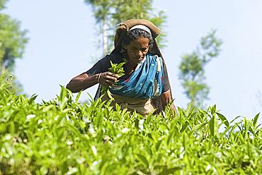 Woman picking tea, Vythiri, Wayanard district, Kerala, India, Asia