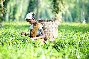 Female tea picker with basket on headband working in tea plantation, Jorhat district, Assam, India, Asia