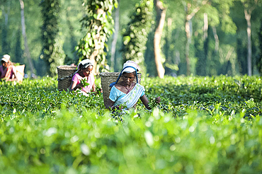 Female tea pickers working in a tea plantation amongst trees and climbing pepper plants, Jorhat district, Assam, India, Asia