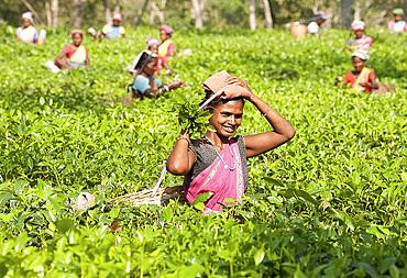 Smiling tea pickers working in tea plantation, Balipara district, Assam, India, Asia