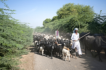 Gujarati nomadic Rabhari goatherd with buffalo and large flock of goats on rural road, Dasada district, Gujarat, India, Asia
