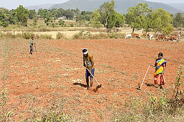 Village man tilling red soil with hand made hoe, wife helping, cows in the distance, Koraput district, Orissa (Odisha), India, Asia