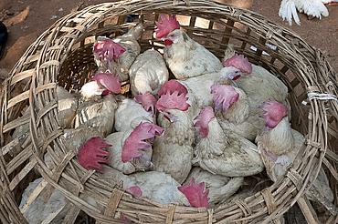 Live chickens in open woven bamboo basket, for sale in Mali weekly tribal market, Guneipada, Koraput district, Orissa (Odisha), India, Asia