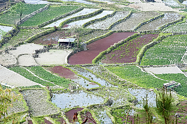 Mixed paddy fields growing vegetables under the highly efficient Jhum system of slash and burn and varied crops, Nagaland, India, Asia
