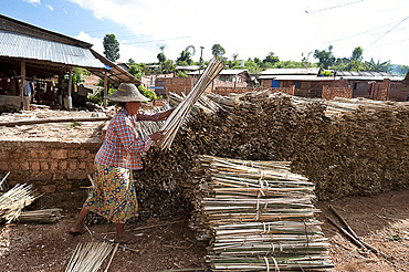 Woman stacking bundles of bamboo ready for lime washing as part of the hand made paper making process, Hsipaw, Shan state, Myanmar (Burma), Asia