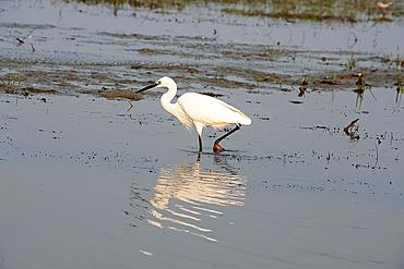 Intermediate egret at dusk, feeding in the shallow waters at the edge of Cilika Lake, Odisha, India, Asia