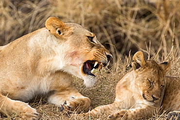Lioness and cub (Panthera leo), Serengeti National Park, Tanzania, East Africa, Africa